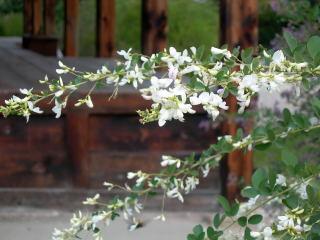 奈良(極楽坊)の白萩