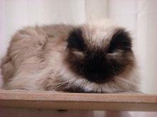 $短足ぶさ猫ぺちゃ猫ちょー美猫