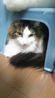 短足ぶさ猫ぺちゃ猫ちょー美猫-2010092409250003.jpg
