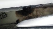 短足ぶさ猫ぺちゃ猫ちょー美猫-2010092409250001.jpg