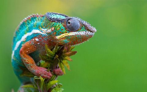 Chameleon-gaze_1920x1200