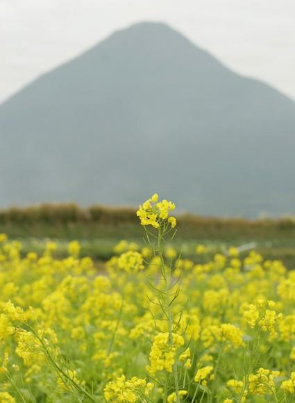 開聞岳と菜の花