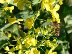 ミツバチ菜の花1