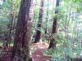 高知の魚梁瀬(やなせ)天然杉林