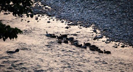 秋・熊野川と鴨の家族