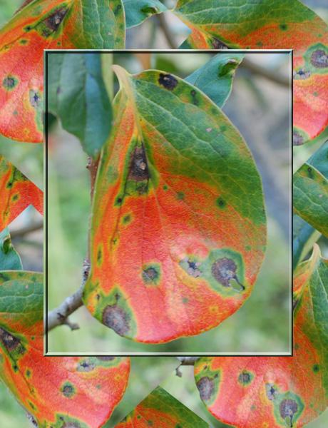柿の葉の紅