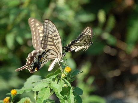 秋・あげは蝶2