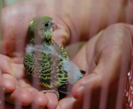 インコの赤ちゃん