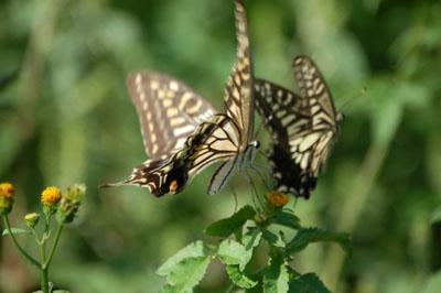 秋・あげは蝶