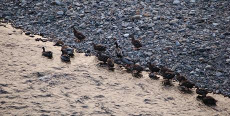 秋・熊野川と鴨の家族2