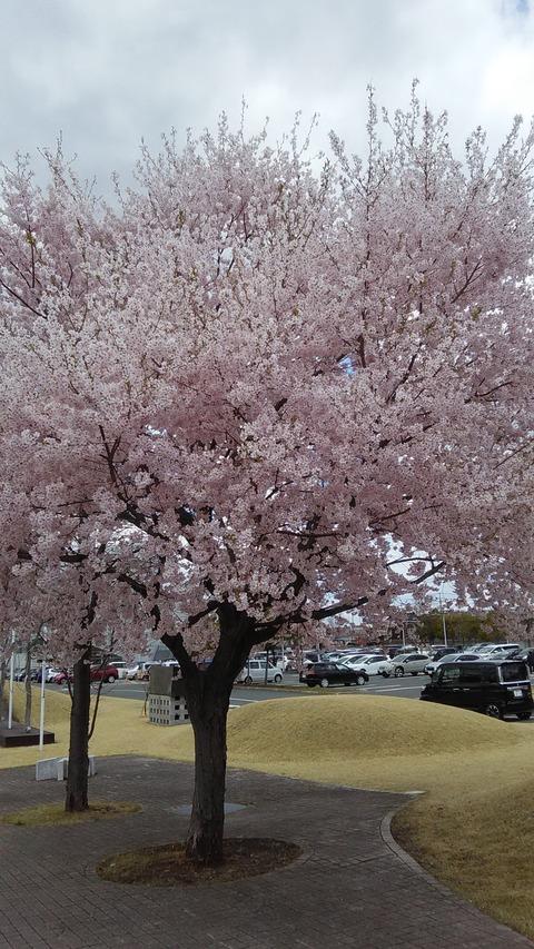 北上市の桜
