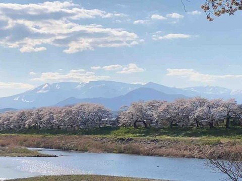 大河原の桜