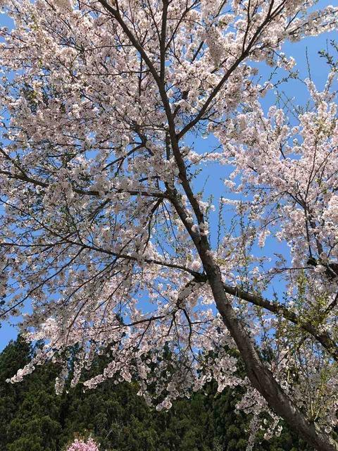次年子の桜