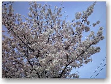 狭山市の桜