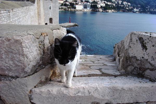 ドゥブロヴニクのネコ