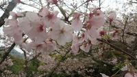 大三島の桜