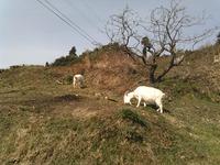 山で草を食むヤギ