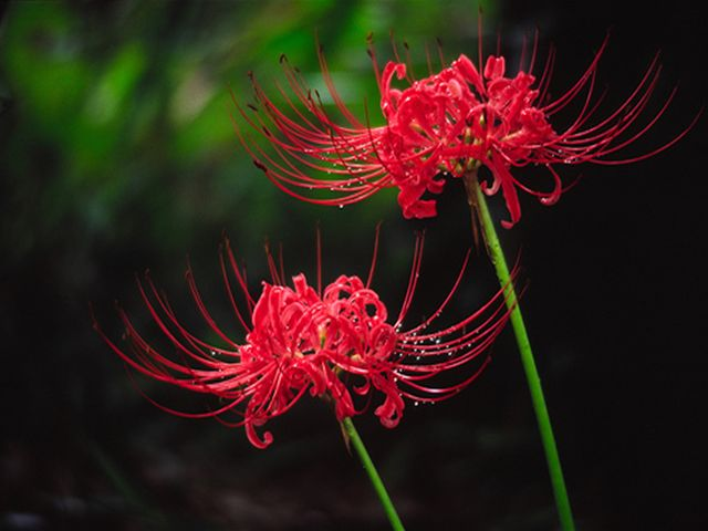 画像 : 彼岸花は本当に不吉な花 ...