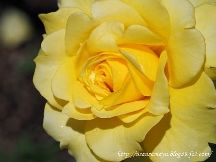 靱公園のバラ17