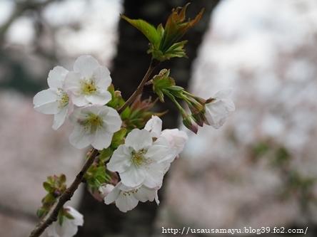 長谷寺の桜1