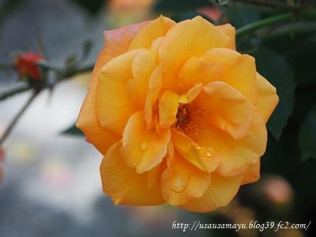 靱公園のバラ25