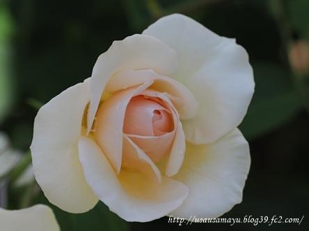 靱公園のバラ5