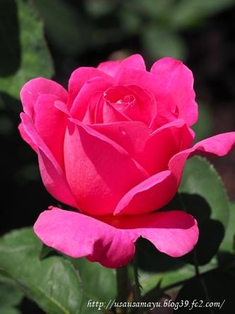 靱公園のバラ19