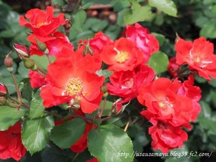 靱公園のバラ13