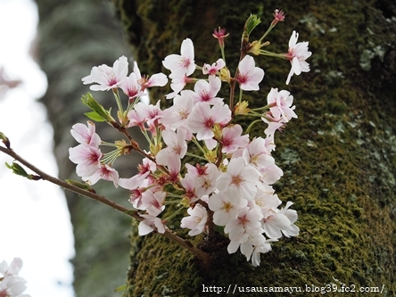 長谷寺の桜3