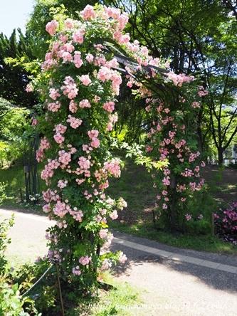 靱公園のバラ15