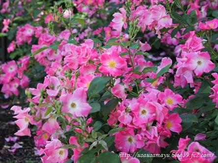 靱公園のバラ16