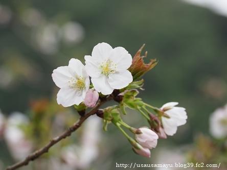 長谷寺の桜2