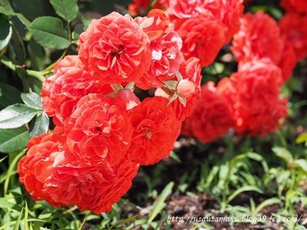 靱公園のバラ10