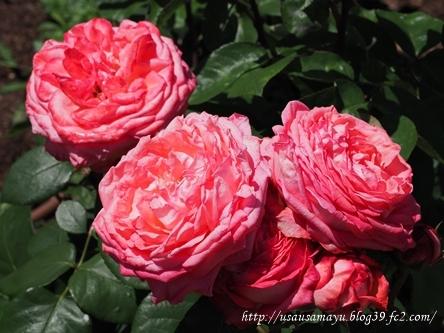 靱公園のバラ26