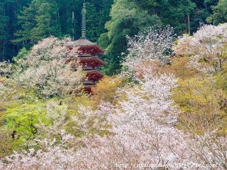 長谷寺の桜5