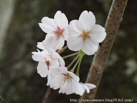長谷寺の桜4
