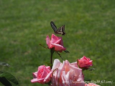 靱公園のバラ6