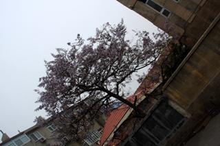 中国・青島の桜(八重桜)