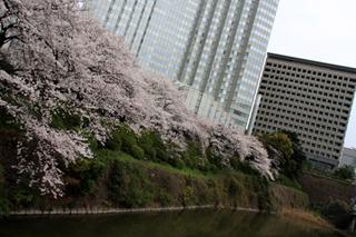 赤坂の桜の名所。赤坂グランドプリンスホテル