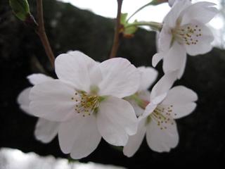 桜満開のお花見!「(こがねいこうえん)小金井公園」