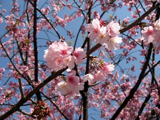 東京の桜、開花宣言