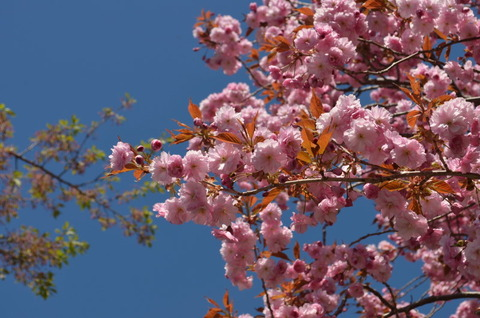 八重桜 白石町