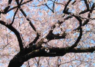 yun_722桜
