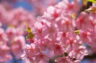 yun_5415河津桜