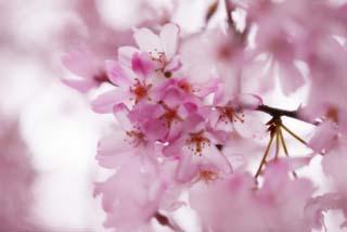 yun_2352しだれ桜