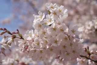 yun_3460桜