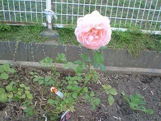 本社花壇バラ