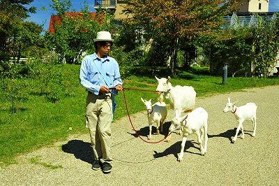 ヤギの行進