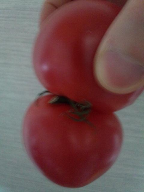 双子のトマトその2