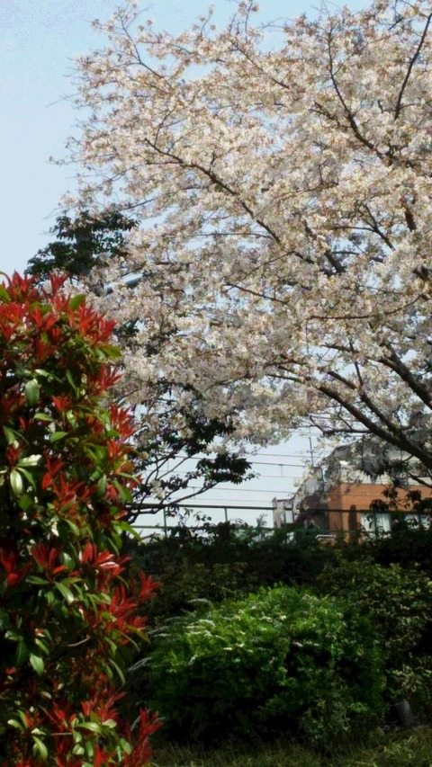 【写真】桜 大久保エリア 2018春